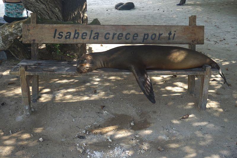 Lobo marino en un banco de Isabela