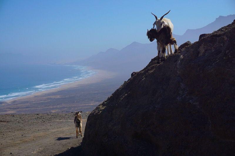 Cabras en el mirador de la Degollada Agua Oveja, Cofete