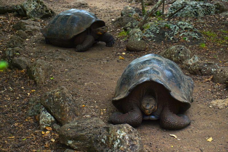 Tortugas gigantes en Galápagos