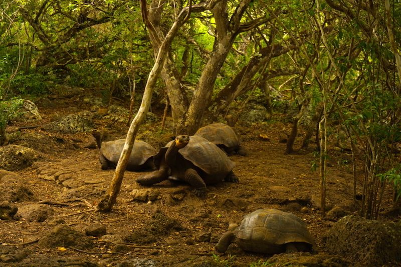 Tortugas gigantes de Galápagos en la Galapaguera de San Cristóbal
