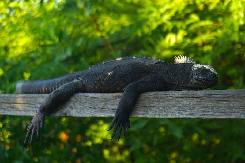 Un iguana descansando