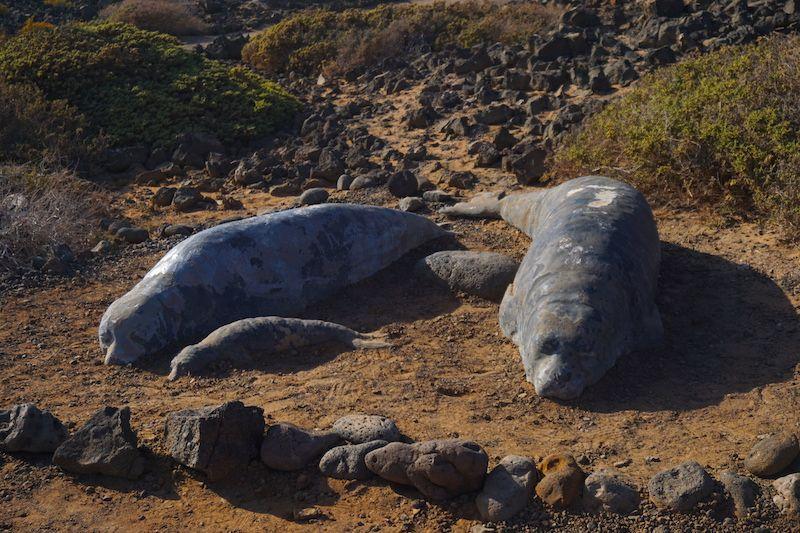 Los únicos lobos marinos que quedan a día de hoy en Isla de Lobos