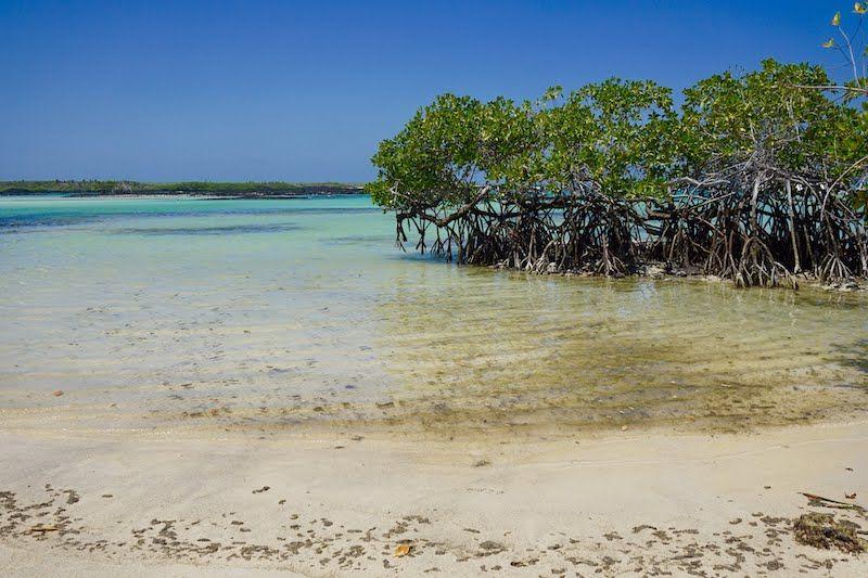 Los manglares son el principal pilar del ecosistema de la vida marina de Santa Cruz y de las Galápagos.