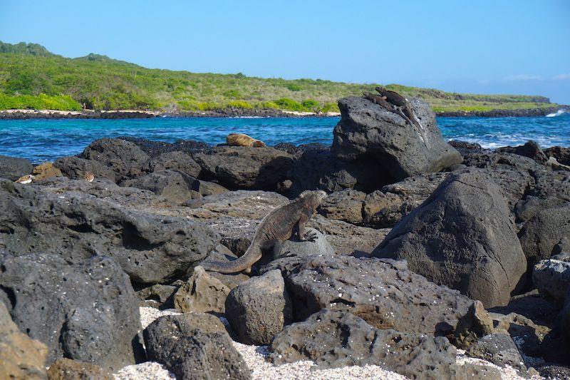 Iguana en la Lobería