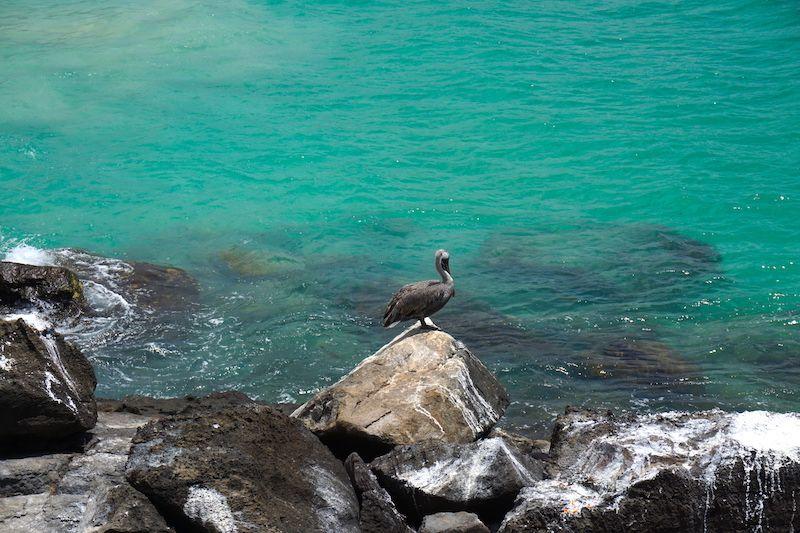 Un pelícano en la playa de Puerto Chino, San Cristóbal
