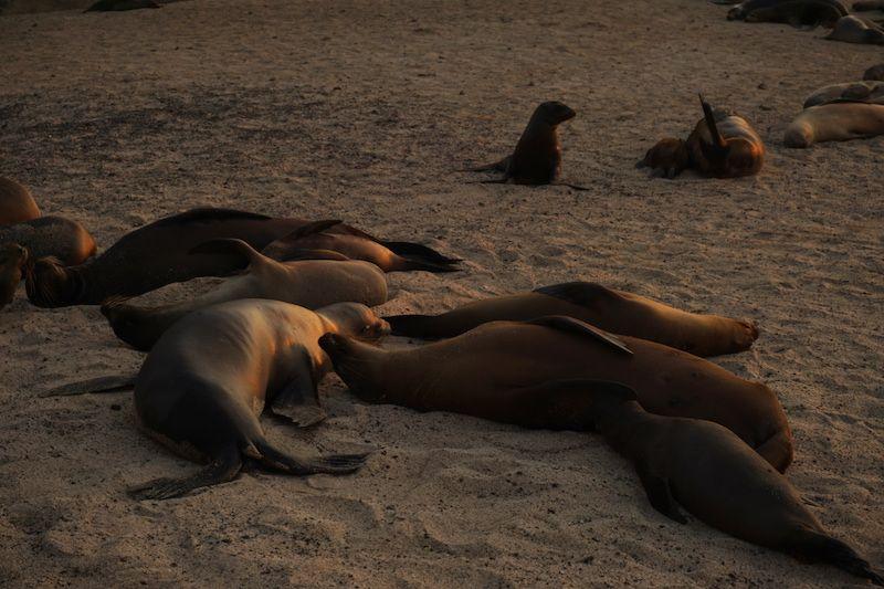 Lobos marinos, los perros de San Cristóbal