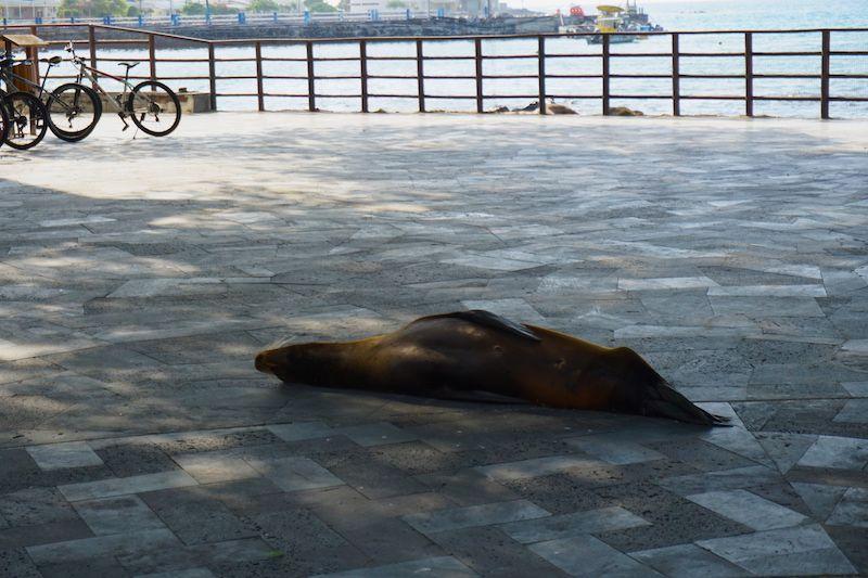 Lobo marino a la sombra, en el malecón de Puerto Baquerizo